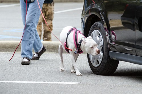 Dog sniffing around a car